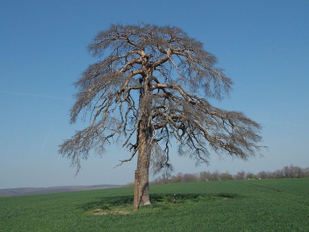 Patkó fa